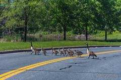 20190608-DSC_4407.jpg (GrandView Virtual, LLC - Bill Pohlmann) Tags: canadageese chicks hastingsmn goslings crossingroad minnesota