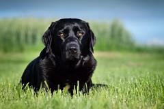 june girl (uwe.kast) Tags: labrador labradorretriever labradorredriver hund haustier dog wiese himmel eyes bokeh panasonic g9 nikon lumix