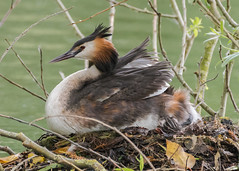 Great Crested Grebe ( Podiceps cristaus ) (Dale Ayres) Tags: great crested grebe podiceps cristatus bird nature wildlife water