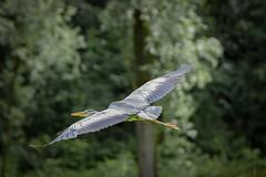 Grey Heron (2 of 4).jpg (Scott2726) Tags: grey heron