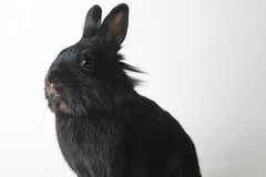 A222122 -- Reglisse -- black Lion Head bun (The.Rohit) Tags: adopt adoption animalshelterphotography ottawa ottawahumanesociety petphotography rescue shelter