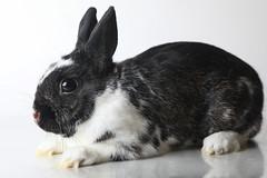 A222127 -- Blackie -- black white bunny (Ottawa Humane Society) Tags: adopt adoption animalshelterphotography ottawa ottawahumanesociety petphotography rescue shelter
