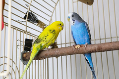 A222062 -- Blue blue budgie-A222061 -- Polly yellow budgie (Ottawa Humane Society) Tags: adopt adoption animalshelterphotography ottawa ottawahumanesociety petphotography rescue shelter