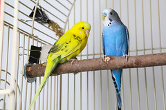 A222062 -- Blue blue budgie-A222061 -- Polly yellow budgie-2 (Ottawa Humane Society) Tags: adopt adoption animalshelterphotography ottawa ottawahumanesociety petphotography rescue shelter
