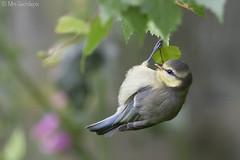 Blue Tit (juv) (Mrs.Geordiepix) Tags: baby blue tit bluetit bird garden gardenbird
