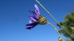Catanache bleue (bernard.bonifassi) Tags: