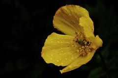 155 The rain starts (Conanetta) Tags: