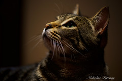 Iris Portrait (Nicholas Ferrary) Tags: nicholasferrary nature nikond800e nikond810 d800e d810 105 nikon105 cats cat pets tabby tabbys mascotas gato gatos gibraltar iris animals