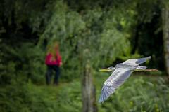 Grey Heron (4 of 4).jpg (Scott2726) Tags: grey heron