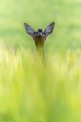 Chevrette (Capreolus capreolus) (Denis.R) Tags: chevrette chevreuil nature femelle capreoluscapreolus france lorraine moselle lommerange alpha7r3 a7r3 a7riii denisrebadj denisr wwwdenisrebadjcom