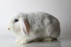 A214346 -- Wyatt -- White Lop (The.Rohit) Tags: adopt adoption animalshelterphotography ottawa ottawahumanesociety petphotography rescue shelter
