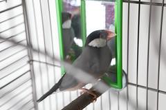 A220953 -- Jet finch (Ottawa Humane Society) Tags: adopt adoption animalshelterphotography ottawa ottawahumanesociety petphotography rescue shelter