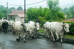 Transhumance sous la pluie (Ariège) (PierreG_09) Tags: seix ariège pyrénées pirineos occitanie couserans hautsalat transhumance tradition fête troupeau vache gasconne taureau