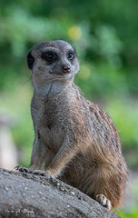 Strokstaartje15 (Borreltje.com) Tags: burgerszoo dierentuin zoo animals nikon