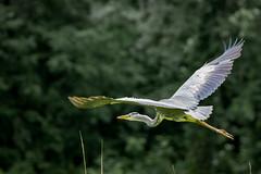 Grey Heron (1 of 4).jpg (Scott2726) Tags: grey heron