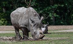 Neushoorn4 (Borreltje.com) Tags: burgerszoo dierentuin zoo animals nikon