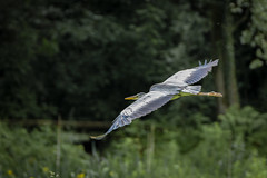 Grey Heron (3 of 4).jpg (Scott2726) Tags: grey heron