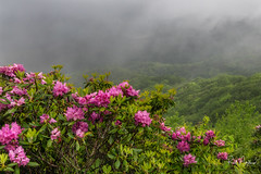 Foggy Parkway (Reid Northrup) Tags: rrs nature blueridgemountains blueridgeparkway clouds craggygarden flowersmountains forest landscape nikon northcarolina reidnorthrup rhododendrons trees scenic