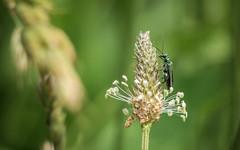 Grüner Scheinbockkäfer - Oederma nobilis (venator.photonae) Tags: makro macro vintage oederma nobilis grüner scheinbockkäfer rüsselkäfer weevil bug käfer sommer summer minolta