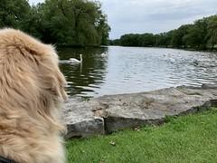 Photographer's Assistant (glen.miner) Tags: dog water swans goldenretriever