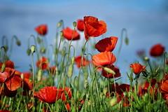 red in red (uwe.kast) Tags: mohn poppy himmel blumen panasonic g9 lumix nikon