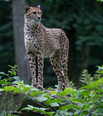 Cheetah16 (Borreltje.com) Tags: burgerszoo dierentuin zoo animals nikon