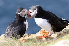 Puffins (Ally.Kemp) Tags: puffins pair two dunnet head caithness scottish scotland atlantic sea birds rspb sand eels fish feeding food