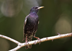 Star - Starling (rengawfalo) Tags: bird birding birder sturnusvulgaris star starling vogel vögel natur nature wildlife animal outdoor wood grass