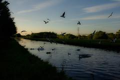 (haslerbryan) Tags: canon6od hertfordshire hoddesdon uk ducks birds water river sunset