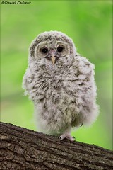 Baby Barred Owl (Daniel Cadieux) Tags: barredowl owl raptor baby owlet fuzzy cute young forest ottawa