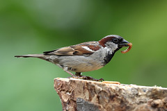 House Sparrow ♂ Passer domesticus (Roger Wasley) Tags: housesparrow passerdomesticus wild bird gloucestershire specanimal