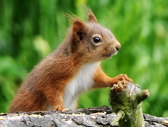 Photo of Red Squirrel
