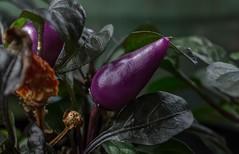 Purple Pepper (ACEZandEIGHTZ) Tags: plant macro pepper bokeh closeup fruit purple nikond3200 leaves dried