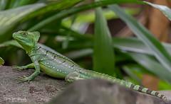 GroeneBasilisk12 (Borreltje.com) Tags: burgerszoo dierentuin zoo animals nikon