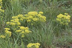 Cypress Spurge (Euphorbia cyparissias) (macronyx) Tags: nature blommor växter växt flowers flower plants plant törel vårtörel euphorbia euphorbiacyparissias spurge cypressspurge