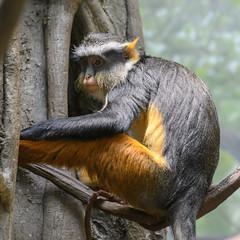 Guenon (PMillera4) Tags: bronxzoo zoo guenon primate