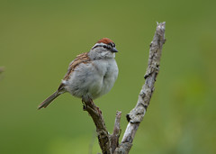 2017-05-31 Chipping Sparrow (tsegat1) Tags: hggt cmwdgreen colorfulworldgreen