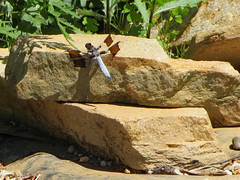 Dragonfly On Rocks. (dccradio) Tags: mountairy mtairy md maryland frederickcounty outdoor outside outdoors nature june tuesday summer summertime tuesdayafternoon afternoon goodafternoon canon powershot elph 520hs greenery dragonfly commonwhitetailskimmer insect insects rock rocks stone stones