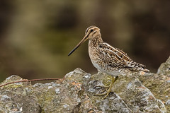 Spring Bank Holiday Wildlife 2019 218 - Rain blowing past this snipe guarding its wandering young (Mark Schofield @ JB Schofield) Tags: huddersfield yorkshire pennine west south meltham marsden slaithwaite animals bird snipe meadow pipit linnet lapwing grey heron brown hare chick countryside