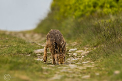 Spring Bank Holiday Wildlife 2019 171 - Running toward me but didn't spot me (Mark Schofield @ JB Schofield) Tags: huddersfield yorkshire pennine west south meltham marsden slaithwaite animals bird snipe meadow pipit linnet lapwing grey heron brown hare chick countryside