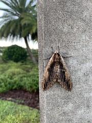 Moth on a power pole. #moth (ronaldeorosz) Tags: moth