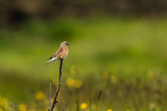 Spring Bank Holiday Wildlife 2019 138 - Linnet out on a limb (Mark Schofield @ JB Schofield) Tags: huddersfield yorkshire pennine west south meltham marsden slaithwaite animals bird snipe meadow pipit linnet lapwing grey heron brown hare chick countryside