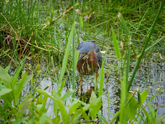 Green Heron (rikaru) Tags: wildlife birds greenheron marshfield massachusetts unitedstatesofamerica