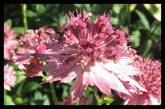 Astrantia, 'Roma' (M E For Bees (Was Margaret Edge The Bee Girl)) Tags: pink petals canon countyside garden flowers sun flowering growing astrantia
