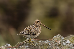 Spring Bank Holiday Wildlife 2019 221 - Snipe on guard in the rain (Mark Schofield @ JB Schofield) Tags: huddersfield yorkshire pennine west south meltham marsden slaithwaite animals bird snipe meadow pipit linnet lapwing grey heron brown hare chick countryside