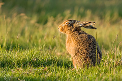 Spring Bank Holiday Wildlife 2019 083 - At peace (Mark Schofield @ JB Schofield) Tags: huddersfield yorkshire pennine west south meltham marsden slaithwaite animals bird snipe meadow pipit linnet lapwing grey heron brown hare chick countryside