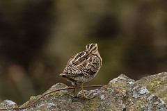 Spring Bank Holiday Wildlife 2019 229 - head  (and long beak) tucked in on a windy day (Mark Schofield @ JB Schofield) Tags: huddersfield yorkshire pennine west south meltham marsden slaithwaite animals bird snipe meadow pipit linnet lapwing grey heron brown hare chick countryside
