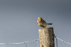 Spring Bank Holiday Wildlife 2019 192 - Pipit on the fence (Mark Schofield @ JB Schofield) Tags: huddersfield yorkshire pennine west south meltham marsden slaithwaite animals bird snipe meadow pipit linnet lapwing grey heron brown hare chick countryside