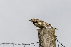 Spring Bank Holiday Wildlife 2019 168- Pipit (Mark Schofield @ JB Schofield) Tags: huddersfield yorkshire pennine west south meltham marsden slaithwaite animals bird snipe meadow pipit linnet lapwing grey heron brown hare chick countryside