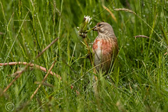 Spring Bank Holiday Wildlife 2019 105 - Dismantling a daisy (Mark Schofield @ JB Schofield) Tags: huddersfield yorkshire pennine west south meltham marsden slaithwaite animals bird snipe meadow pipit linnet lapwing grey heron brown hare chick countryside
